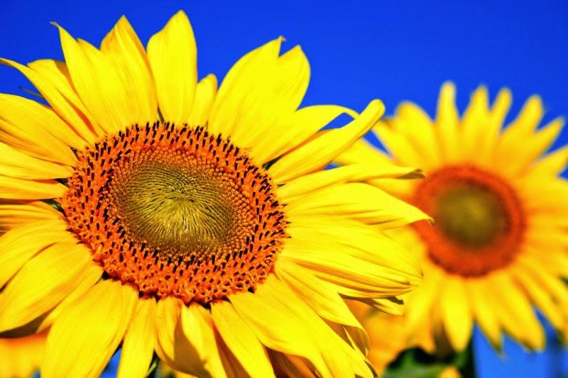 Sunflowers for Elspeth
