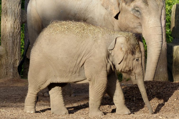 Elephants at Chester Zoo