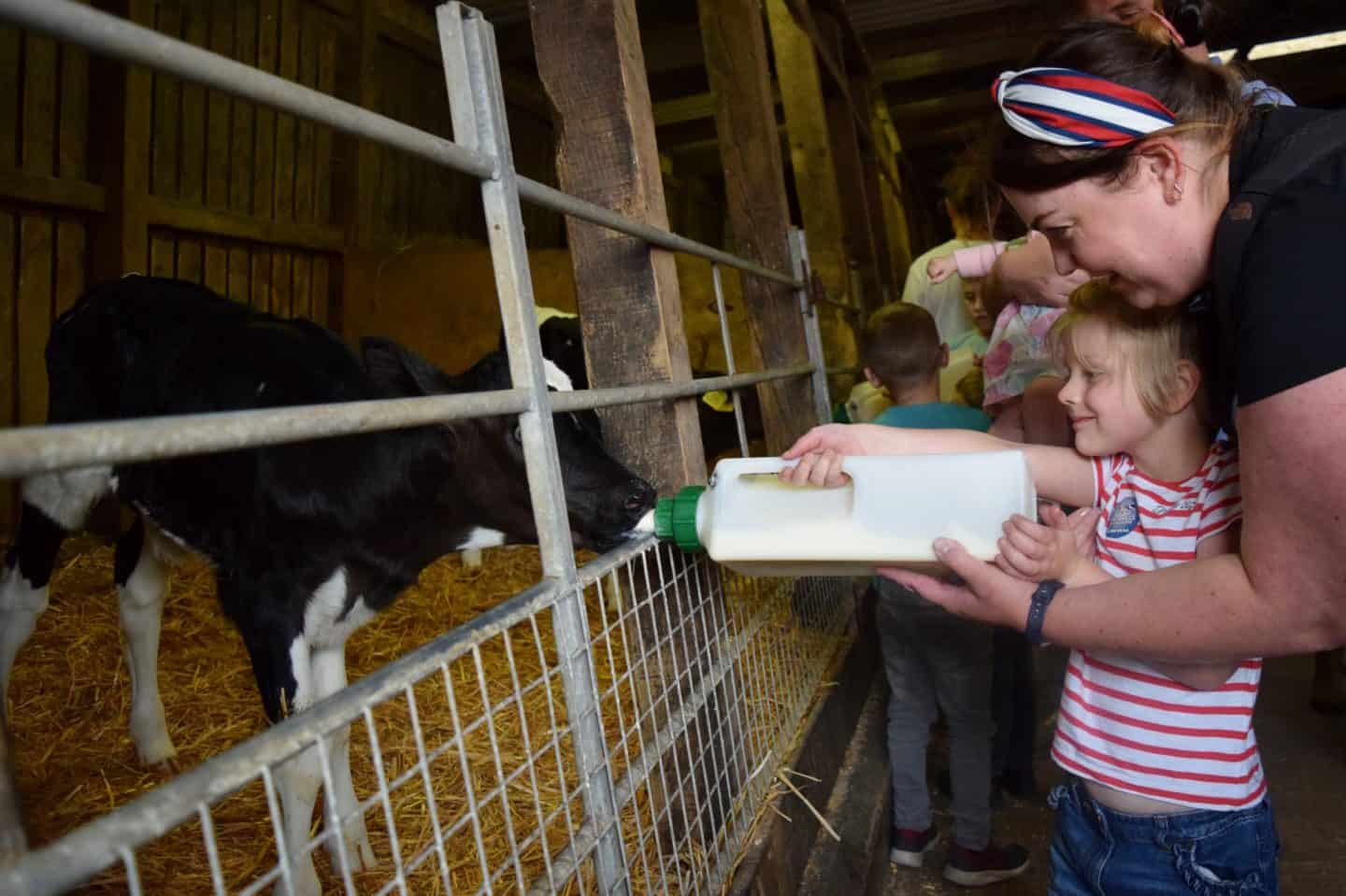 Little girl bottle feeding calves at Smithills Farm